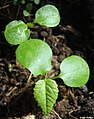 Croton sylvaticus seedlings at an early stage, by Omar Hoftun.jpg