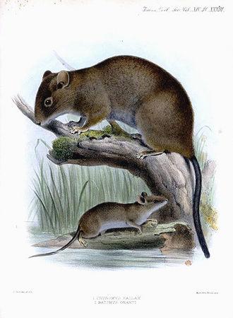 Batomys - Batomys granti (smaller lower animal)