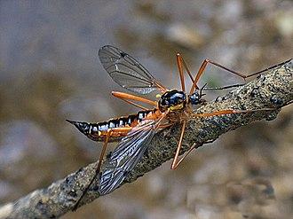Ctenophora (fly) - Ctenophora pectinicornis female