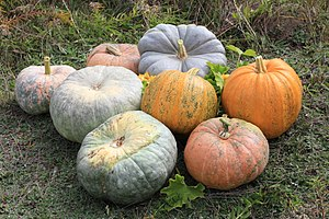 Cucurbita - C. pepo pumpkins – the two bright orange ones in center right, and squashes C. maxima, all others