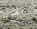 Curlew Sandpiper (Calidris ferruginea) - Flickr - Lip Kee (3).jpg