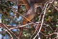 Curve-billed Thrasher (Toxostoma curvirostre) (8079389462).jpg