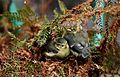 Cyanistes caeruleus -Norfolk, England -chicks-8.jpg