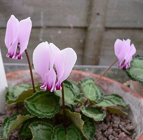 Description de l'image  Cyclamen_graecum04.jpg.