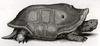 Réunion Giant Tortoise