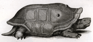 Réunion giant tortoise - 1792 sketch of a living specimen