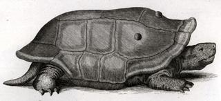 Réunion giant tortoise species of reptile