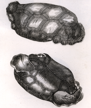 Saddle-backed Rodrigues giant tortoise - Engravings of C. vosmaeri shell, 1792.