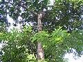 Cynometra malaccensis.jpg
