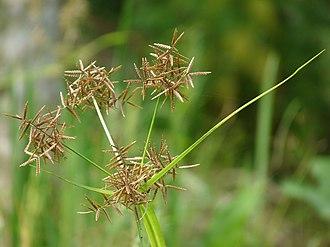 Cyperaceae - Cyperus rotundus, Kerala