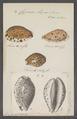 Cypraea lynx - - Print - Iconographia Zoologica - Special Collections University of Amsterdam - UBAINV0274 088 02 0048.tif