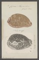 Cypraea mappa - - Print - Iconographia Zoologica - Special Collections University of Amsterdam - UBAINV0274 088 02 0022.tif
