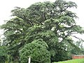 Cypress Tree given to Madison by Lafayette - panoramio.jpg