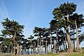 Cypress Trees, Sutro Baths, San Francisco (8643354097).jpg