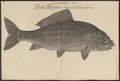Cyprinus carpio - 1726 - Print - Iconographia Zoologica - Special Collections University of Amsterdam - UBA01 IZ15000033.tif