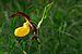 Cypripedium calceolus - Kaunis kuldking Keila.jpg