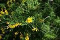 Cytisus x spachianus 3zz.jpg