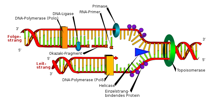DNA replication de.svg