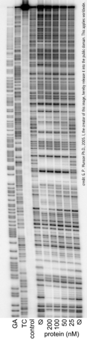 """DNase footprinting assay - DNaseI footprint of a protein binding to a radiolabelled DNA fragment. Lanes """"GA"""" and """"TC"""" are Maxam-Gilbert chemical sequencing lanes, see DNA Sequencing. The lane labelled """"control"""" is for quality control purposes and contains the DNA fragment but not treated with DNaseI."""