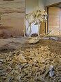 Daeodon (Miocene) P7180295.jpg