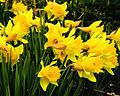 Daffodils flowering.jpg