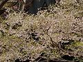 Dalbergia lanceolaria (4592525310).jpg