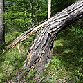 Damaged tree 2.jpg