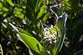 Damselfly on common milkweed (35220796916).jpg