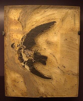 Swift - Scaniacypselus fossil