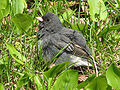 Dark-eyed Slate-colored Junco (Junco hyemalis) RWD.jpg