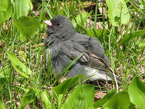 Dark-eyed Slate-colored Junco (Junco hyemalis) RWD