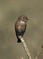 Dark-sided Flycatcher Muscicapa sibirica by Dr. Raju Kasambe DSCN2172 (3).jpg