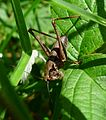 Dark Bush Cricket. Pholidoptera griseoaptera - Flickr - gailhampshire.jpg