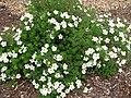 Dasiphora fruticosa 'Mckay's White' 06.jpg
