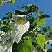 Davidia involucrata inflorescence foliage 01.jpg
