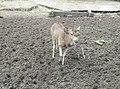 Deer in Zoo Negara Malaysia (1).jpg