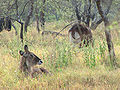 Defassa Waterbuck, females.jpg
