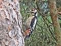Dendrocopos major (Great spotted woodpecker), Molenhoek, the Netherlands.jpg