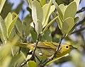 Dendroica petechia -Parque Nacional Cienaga de Zapata, Matanzas Province, Cuba-8.jpg