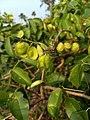 Derris trifoliata, common derris, കമ്മട്ടി വള്ളി.jpg