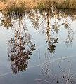 Diakonievene. Natuurgebied van It Fryske Gea 004.jpg