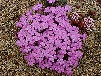 Dianthus brevicaulis