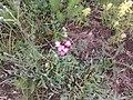 Dianthus pontedere - panoramio.jpg
