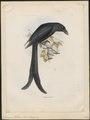 Dicrurus waldeni - 1868 - Print - Iconographia Zoologica - Special Collections University of Amsterdam - UBA01 IZ16400089.tif