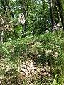 Dictamnus albus sl22.jpg