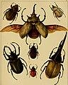 Die exotischen Käfer in Wort und Bild (1908) (20903780712).jpg
