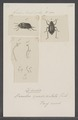 Diesia - Print - Iconographia Zoologica - Special Collections University of Amsterdam - UBAINV0274 027 23 0007.tif