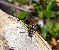 Digger Wasp. Sceliphron spirifex - Flickr - gailhampshire.jpg