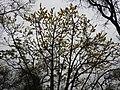 Dillenia pentagyna flowering by Dr. Raju Kasambe DSCN1362 (30).jpg