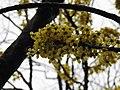 Dillenia pentagyna flowering by Dr. Raju Kasambe DSCN1362 (31).jpg